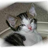 Adopt A Pet :: Munchkin - Montgomery, IL