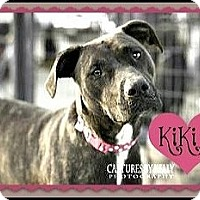 Boxer/Rottweiler Mix Dog for adoption in Arlington, Texas - Kiki-DNA tested