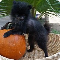 Adopt A Pet :: Kumquat - conroe, TX