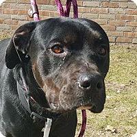 Adopt A Pet :: Hendricks - Troy, MI