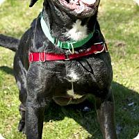 Adopt A Pet :: Princess Daisy - Worcester, MA