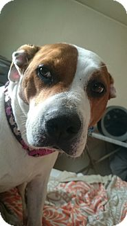 Pit Bull Terrier Mix Dog for adoption in Baltimore, Maryland - Lucy 2 (COURTESY POST)