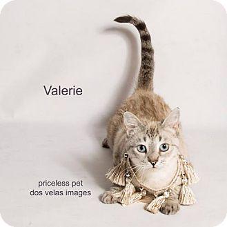 Siamese Cat for adoption in Chino Hills, California - Valerie - In Foster