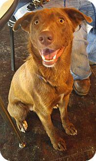 Anatolian Shepherd Mix Dog for adoption in Jarrell, Texas - Max