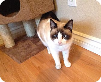Siamese Cat for adoption in Chino Hills, California - Carmelia