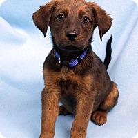 Adopt A Pet :: DANTE - Westminster, CO