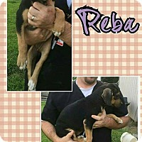 Adopt A Pet :: Reba in CT - Manchester, CT