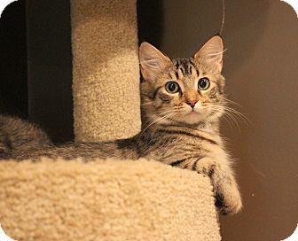 Domestic Mediumhair Cat for adoption in Carlisle, Pennsylvania - ZoePENDING