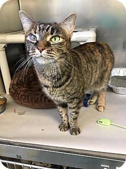 Domestic Shorthair Cat for adoption in Jackson, New Jersey - Ruby