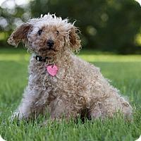 Adopt A Pet :: LUCAS - Ile-Perrot, QC