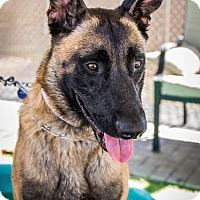 Adopt A Pet :: Cannon - Phoenix, AZ