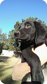 Rottweiler/Labrador Retriever Mix Puppy for adoption in Matawan, New Jersey - Zoey (adoption pending)
