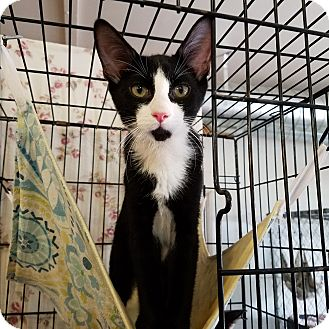 Domestic Shorthair Kitten for adoption in Fallbrook, California - Bryce