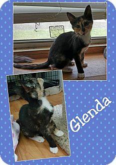 Domestic Shorthair Kitten for adoption in North Richland Hills, Texas - Glenda