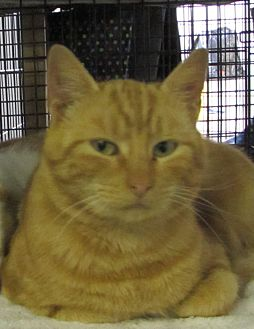 Domestic Shorthair Cat for adoption in Jackson, Missouri - Anthony