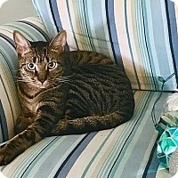 Domestic Shorthair Kitten for adoption in Tampa, Florida - Mogley