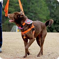Adopt A Pet :: Godiva - Pinehurst, NC
