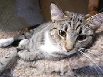 Domestic Mediumhair Cat for adoption in Port Richey, Florida - Willow