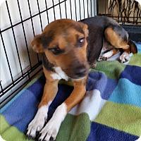Adopt A Pet :: HONEY-BUN - TAHOKA, TX