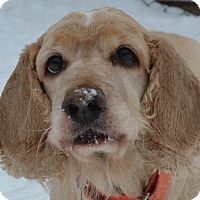 Cocker Spaniel Mix Dog for adoption in Afton, New York - Jackson