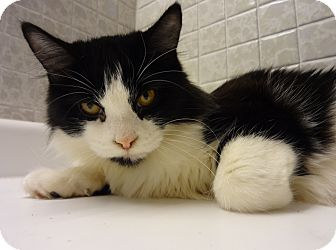 Domestic Mediumhair Cat for adoption in Huntsville, Ontario - Gabby - Adoption Pending