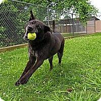 Adopt A Pet :: Annabelle - White River Junction, VT