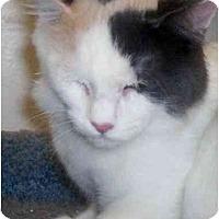 Adopt A Pet :: Poof - Richmond, VA