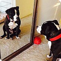 Adopt A Pet :: Big Head Todd - Villa Park, IL