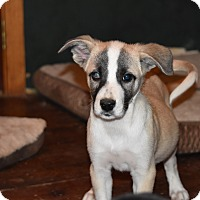 Adopt A Pet :: Boo Boo - Charlemont, MA