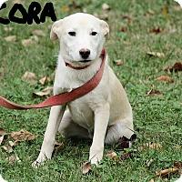 Adopt A Pet :: Cora - Windham, NH