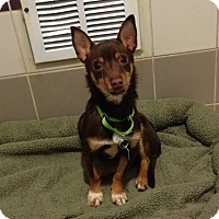 Adopt A Pet :: Ratatouille - Houston, TX