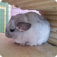 Adopt A Pet :: Aster - Granby, CT