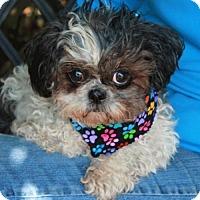Adopt A Pet :: Little Bit-PENDING - Garfield Heights, OH
