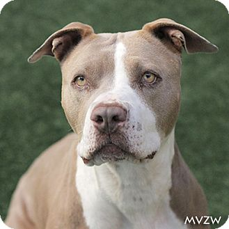 American Pit Bull Terrier Dog for adoption in Burlingame, California - Bessie