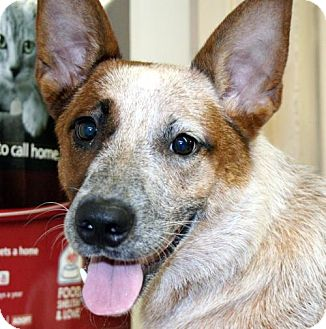 Australian Cattle Dog Dog for adoption in Independence, Missouri - Reba *CL*