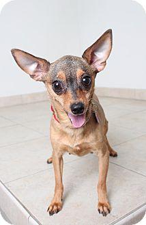 Terrier (Unknown Type, Medium)/Chihuahua Mix Dog for adoption in Edina, Minnesota - Reba D161546: PENDING ADOPTION
