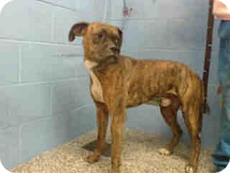 Boxer Mix Dog for adoption in San Bernardino, California - URGENT on 10/13 SAN BERNARDINO
