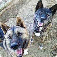 Akita Dog for adoption in Romoland, California - Mitsu and Maro