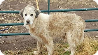 Great Pyrenees Dog for adoption in Vacaville, California - Penelope