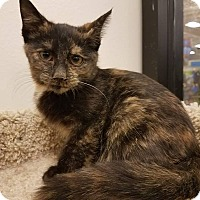 Domestic Shorthair Kitten for adoption in Colonial Heights, Virginia - Dapple