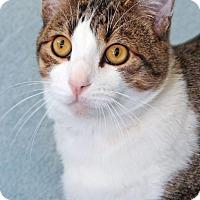 Domestic Shorthair Cat for adoption in Encinitas, California - Bernard