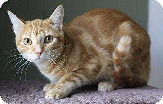 Domestic Mediumhair Cat for adoption in Hammond, Louisiana - Nick