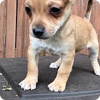 Adopt A Pet :: Basil - Weston, FL