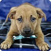 Adopt A Pet :: Achilles - Picayune, MS