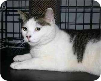 American Shorthair Cat for adoption in Lake Ronkonkoma, New York - Twix