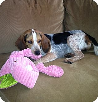 Beagle Dog for adoption in Novi, Michigan - Jasper