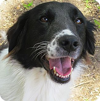 Border Collie/Australian Shepherd Mix Dog for adoption in Houston, Texas - Joy