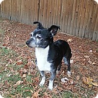 Adopt A Pet :: Pringle - Mount Kisco, NY