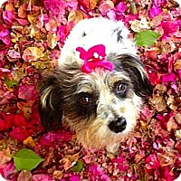 Adopt A Pet :: Flower**Video** - Pasadena, CA