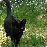 Adopt A Pet :: Catniss - Stafford, VA